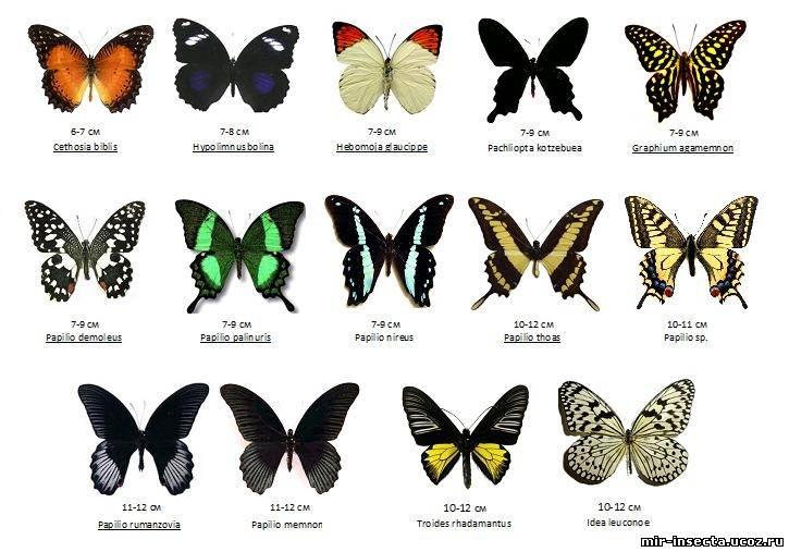 Бабочки  Справочник  Мой Мир